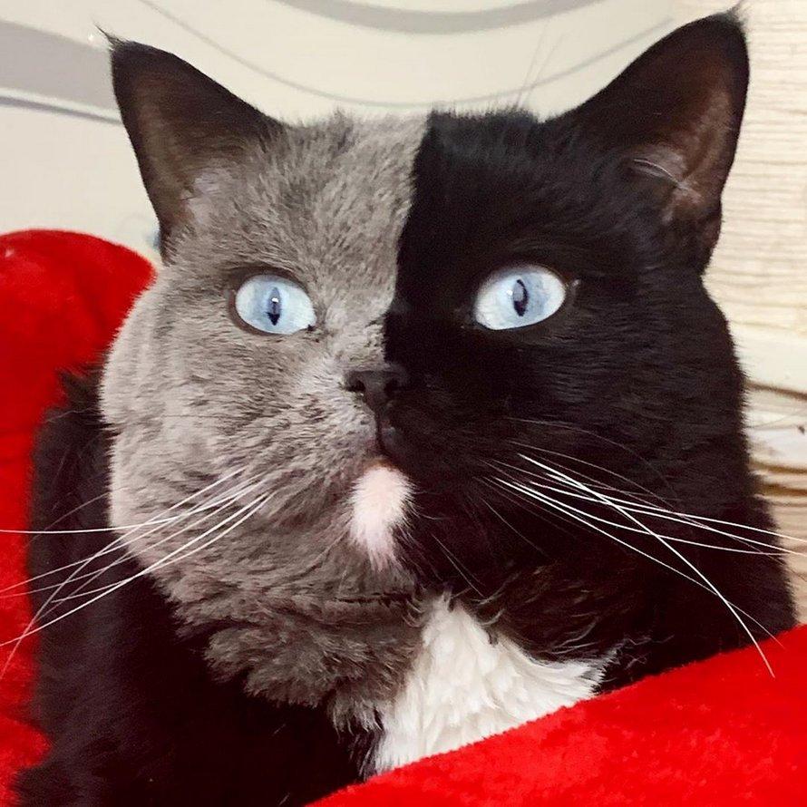 Un chat à deux visages devient le père de chatons de chacune de ses couleurs
