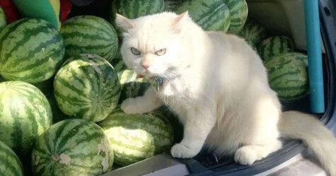 Un chat en colère surveille des pastèques en Thaïlande et il est adoré par la communauté