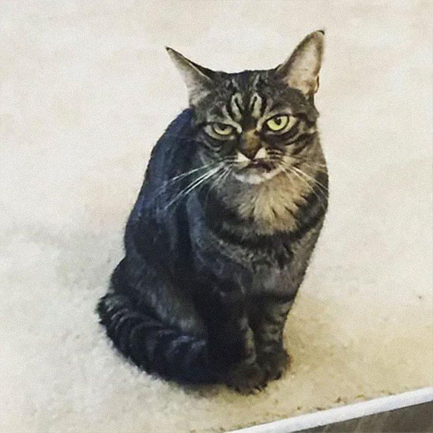 Voici la nouvelle Grumpy Cat nommée Kitzia qui a l'air encore plus grincheuse que son prédécesseur