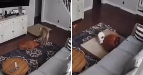 Une caméra filme un chien qui apporte son lit à son frère malade pour qu'il soit à l'aise