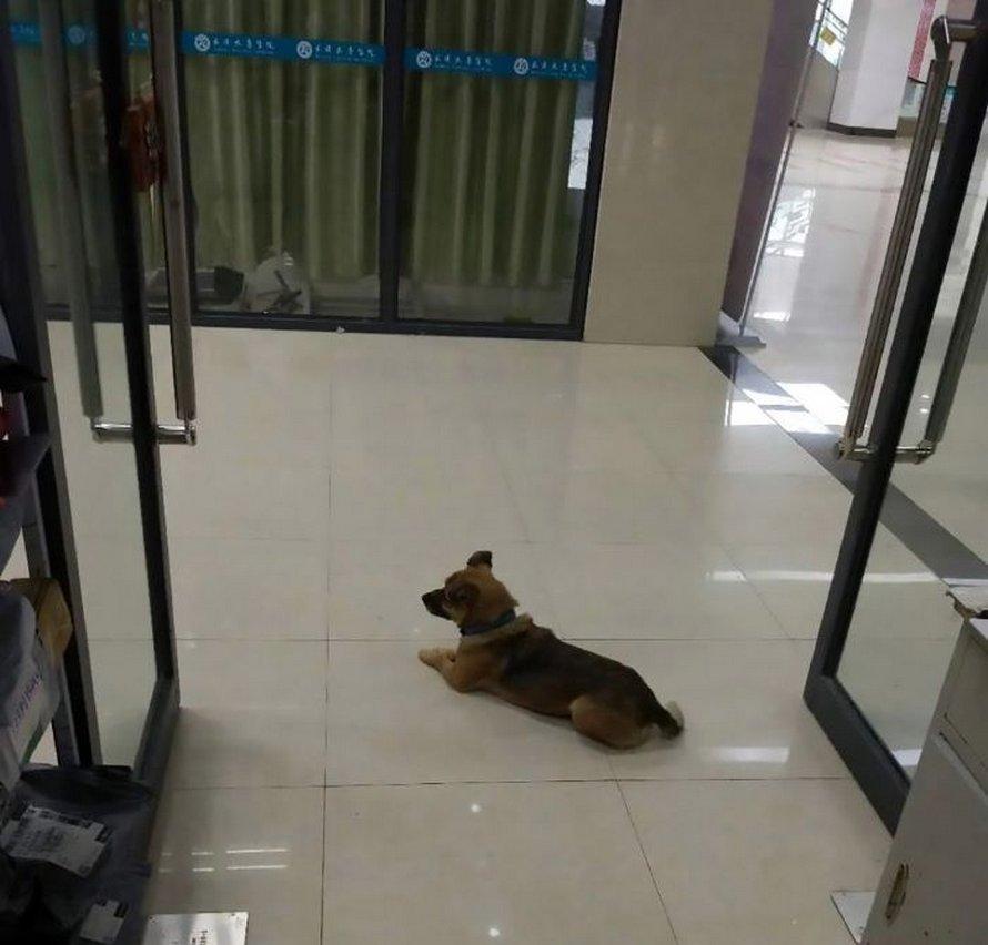Un chien fidèle attend son maître dans un hôpital de Wuhan pendant 3 mois ne sachant pas qu'il est décédé de la COVID-19