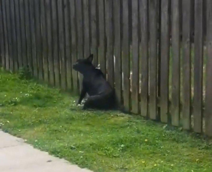 Un chiot visite la clôture tous les jours pour se faire masser par le chien du voisin
