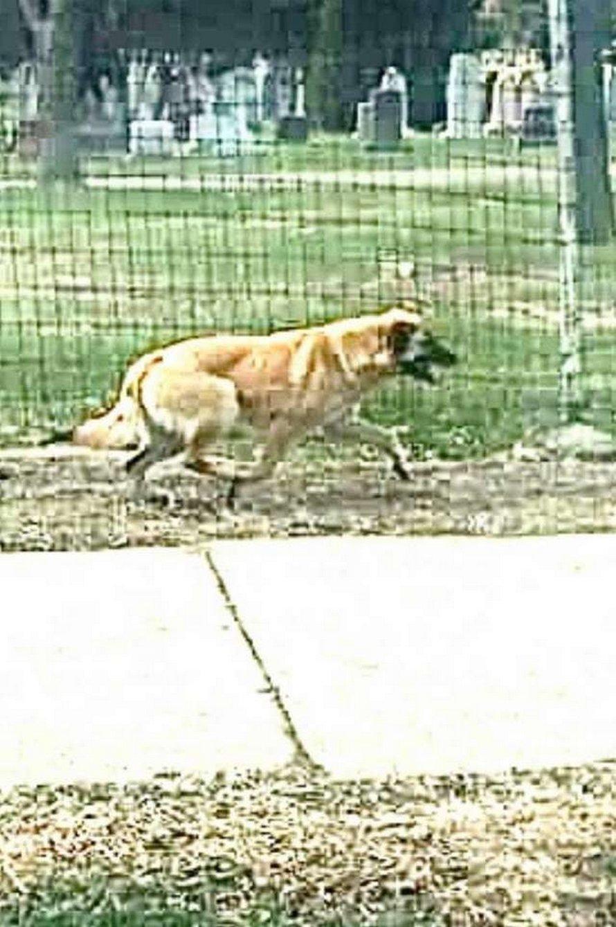 Une chienne parcourt 64 kilomètres pour retrouver la femme qui a changé sa vie