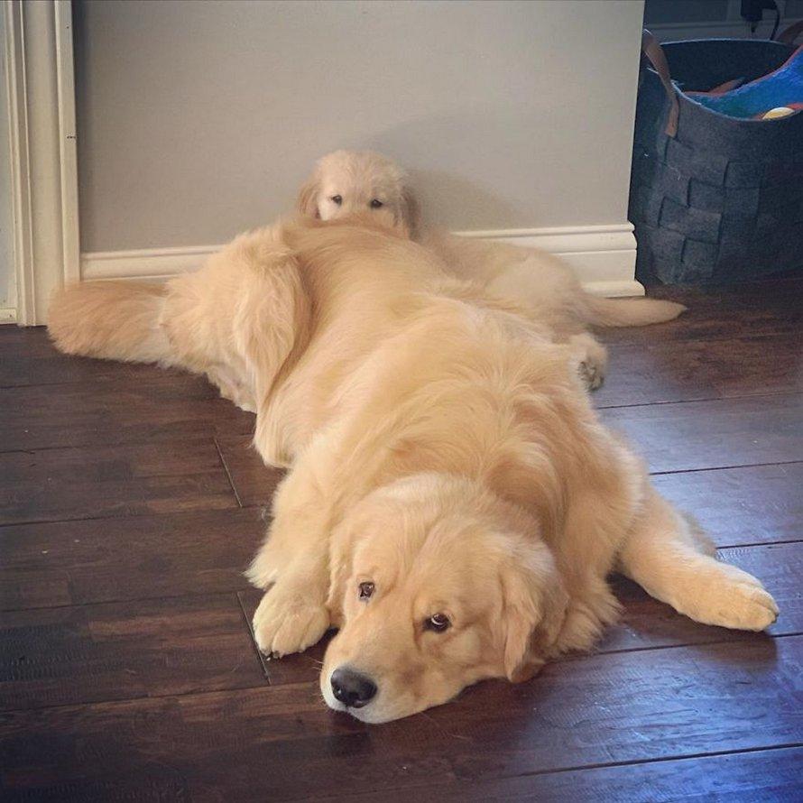 Ces adorables golden retrievers adorent dormir l'un sur l'autre comme des oreillers et voici les 26 meilleures photos d'eux