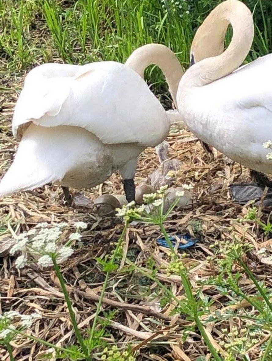 Un cygne «meurt le coeur brisé» après que des ados aient détruit son nid et tué ses bébés à naître