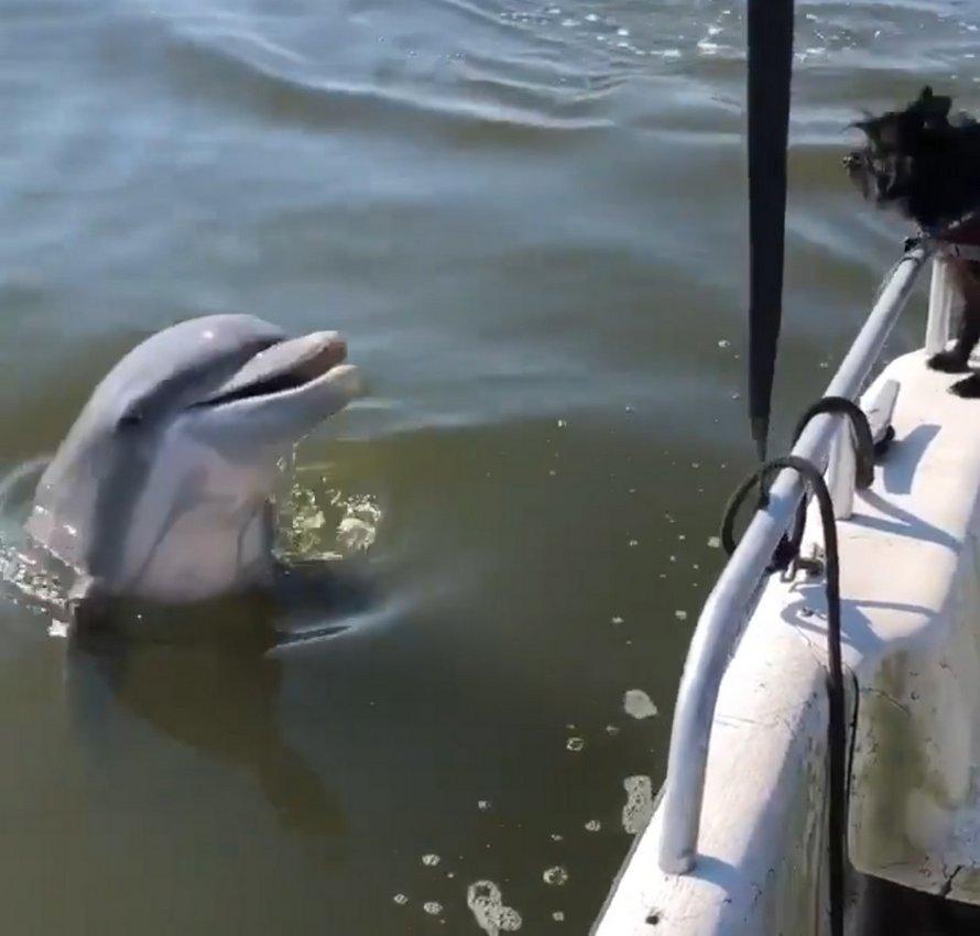 Un dauphin sauvage amical passe dire «bonjour» à deux chiens sur un bateau