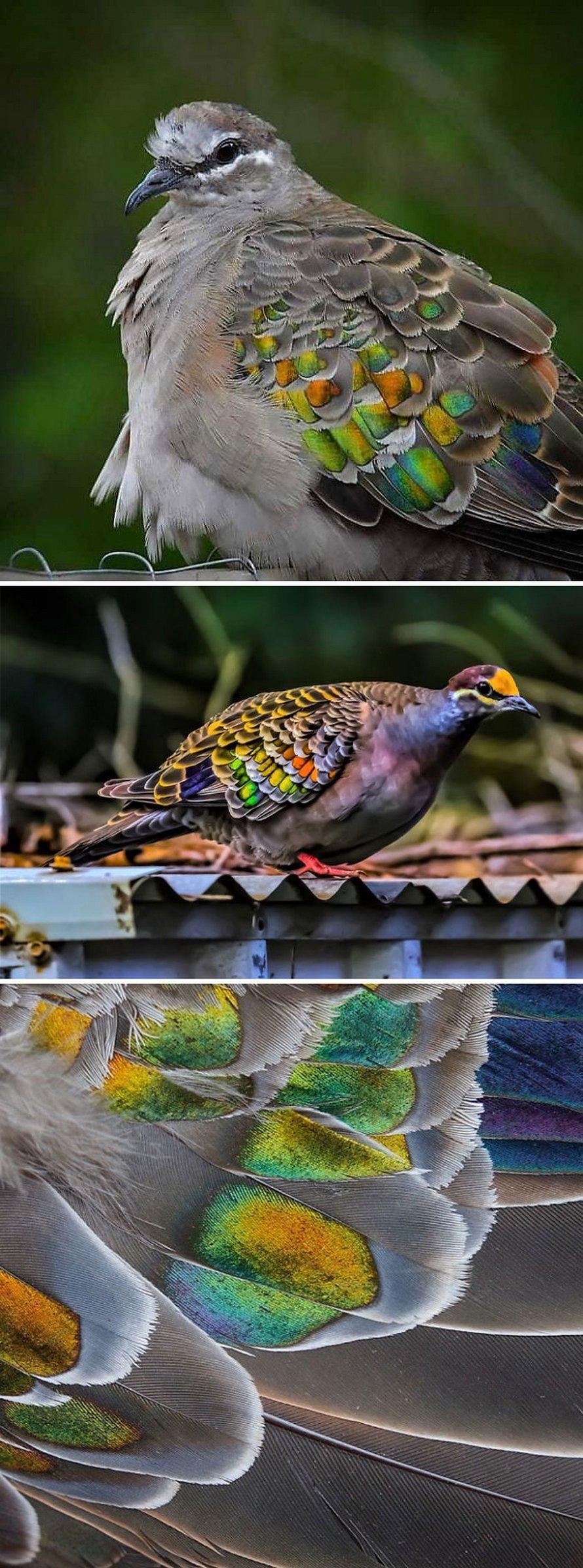 Voici certaines des plus belles espèces de pigeons du monde