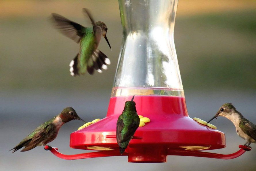 Pour étudier de près les colibris, cet homme a fixé des mangeoires à ses lunettes