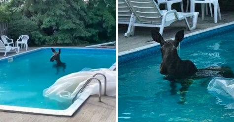 Un homme se réveille et aperçoit un orignal qui se baigne dans sa piscine