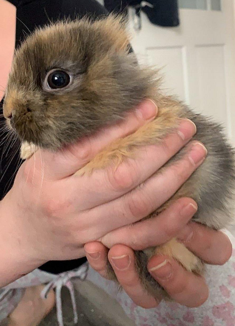 Voici Leo, une lapine sans oreilles qui ressemble à un mini lion