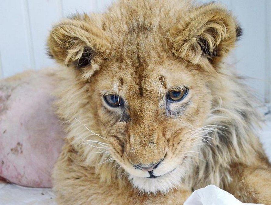 De bons samaritains sauvent un lionceau qui s'est fait casser les pattes pour prendre des photos avec les touristes