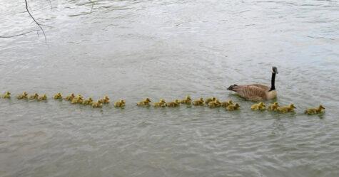 Une maman bernache s'occupe de 47 bébés et les met à l'abri du danger