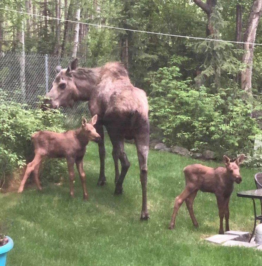 Un orignal et ses petits décident de passer une journée dans l'arrière-cour d'une famille et ces 36 photos d'eux sont adorables