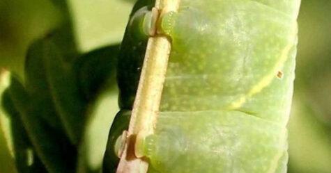 Il s'avère que les chenilles ont de tout petits pieds mignons et voici 22 images pour vous les montrer