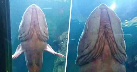 Un «poisson pénis» surprend les visiteurs d'un aquarium par son apparence osée