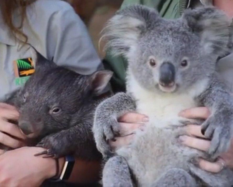 Un wombat et un koala sont devenus les meilleurs amis du monde après avoir partagé un enclos pendant le confinement