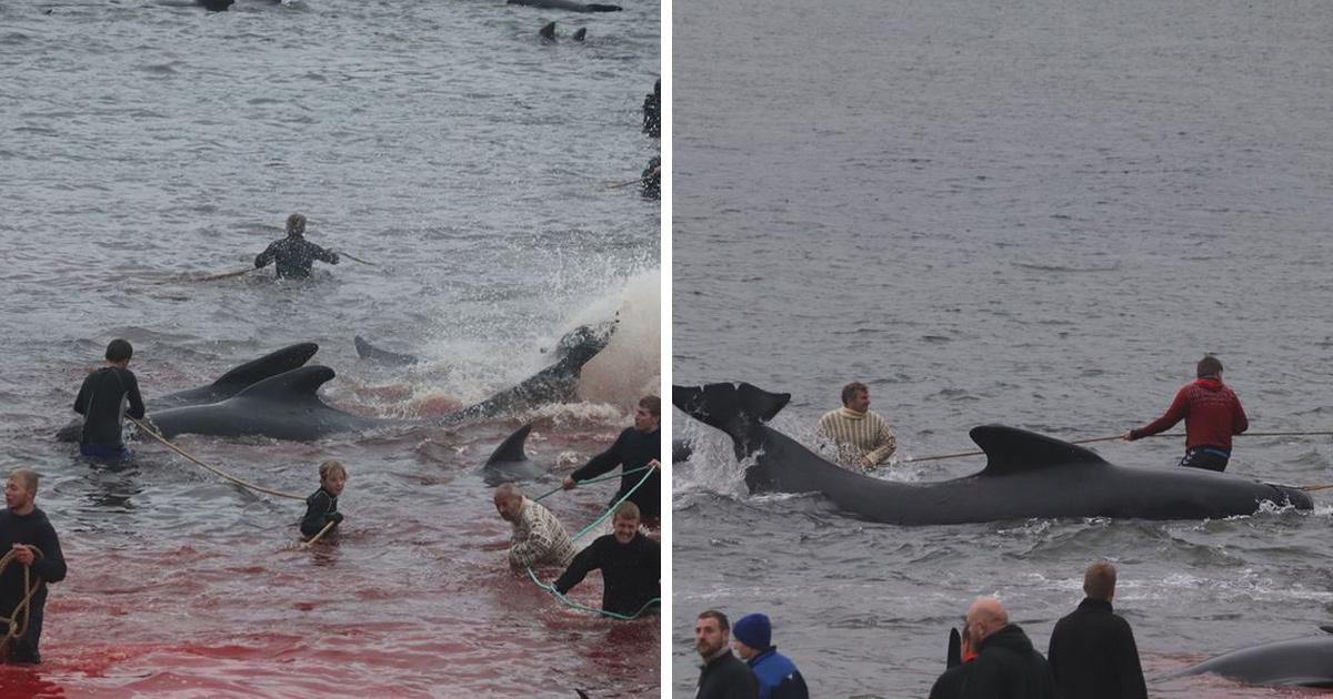 La mer est devenue rouge dans les îles Féroé alors que 250 baleines ont été abattues en une journée lors de la chasse annuelle