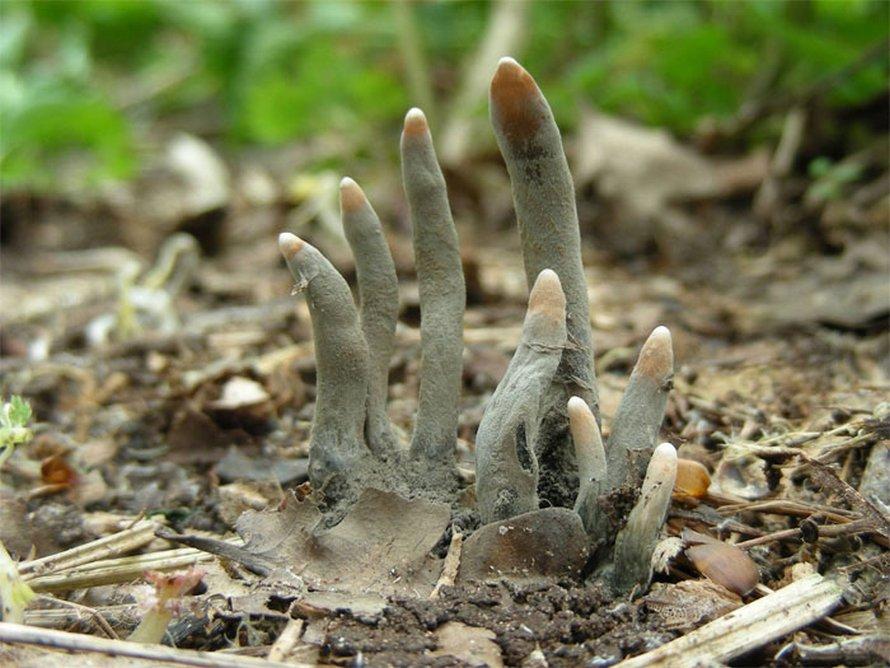 Ce champignon appelé «doigt de l'homme mort» est aussi effrayant qu'il n'y paraît, et voici 6 photos pour le prouver