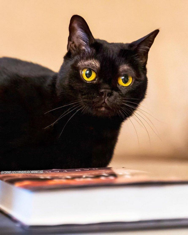Voici Cornelius Cornbread, l'adorable chaton aux sourcils blancs