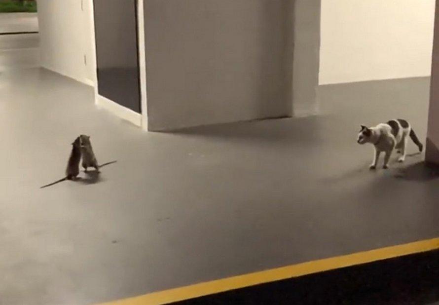 Une femme filmé une vidéo hilarante d'un chat qui regarde un combat de rats
