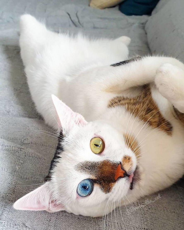 Bowie le chat est devenu viral grâce à ses magnifiques yeux vairons et voici les 10 plus belles photos de lui