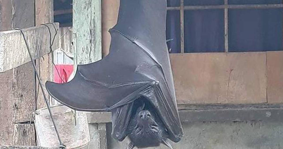 Cette photo terrifiante d'une «chauve-souris de taille humaine» n'est pas fausse