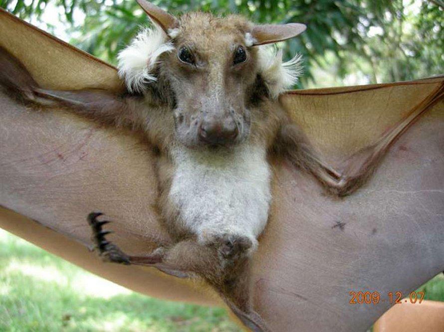Ces espèces de chauves-souris semblent trop bizarres pour être réelles