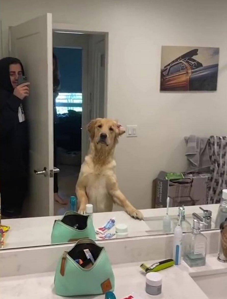 Les gens adorent la réaction confuse de ce golden retriever qui trouve son propriétaire dans le miroir pendant qu'ils jouent à cache-cache