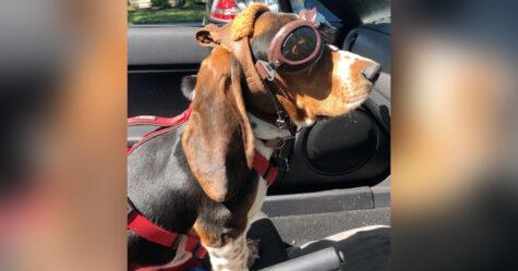 Un petit chien reçoit des lunettes spéciales pour pouvoir faire des balades dans la décapotable de son propriétaire