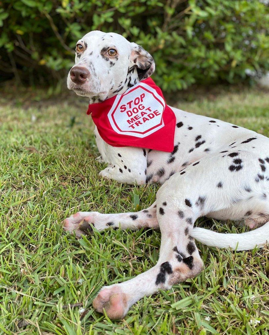 Un chiot qui s'est fait couper les pattes dans un abattoir de chiens en Chine a été secouru et est devenu une chienne heureuse et en parfaite santé