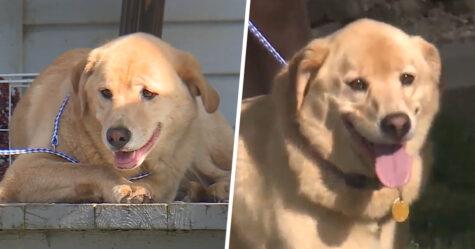 Une chienne perdue marche 90 kilomètres pour retourner à son ancienne maison