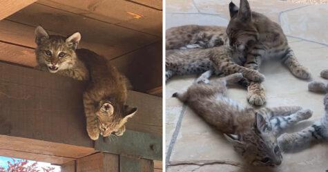 Une femme découvre une famille de lynx qui se détend sur son perron