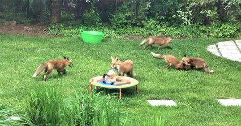 Une famille d'adorables petits renards n'arrête pas de visiter le jardin d'un homme