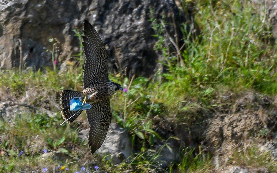 Un faucon saisit un masque jeté avant de s'envoler avec le masque emmêlé dans les serres