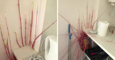 Une femme retourne chez elle et découvre qu'une pomme de terre «mutante» a envahi son appartement