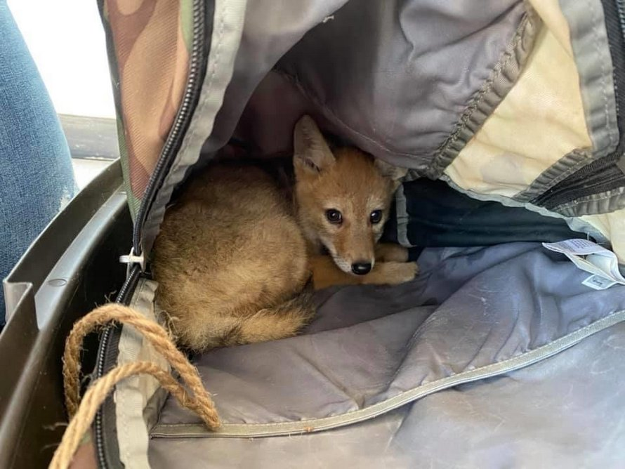 Un Canadien sauve un petit coyote de la noyade et l'emmène avec lui en radeau pendant 10 jours