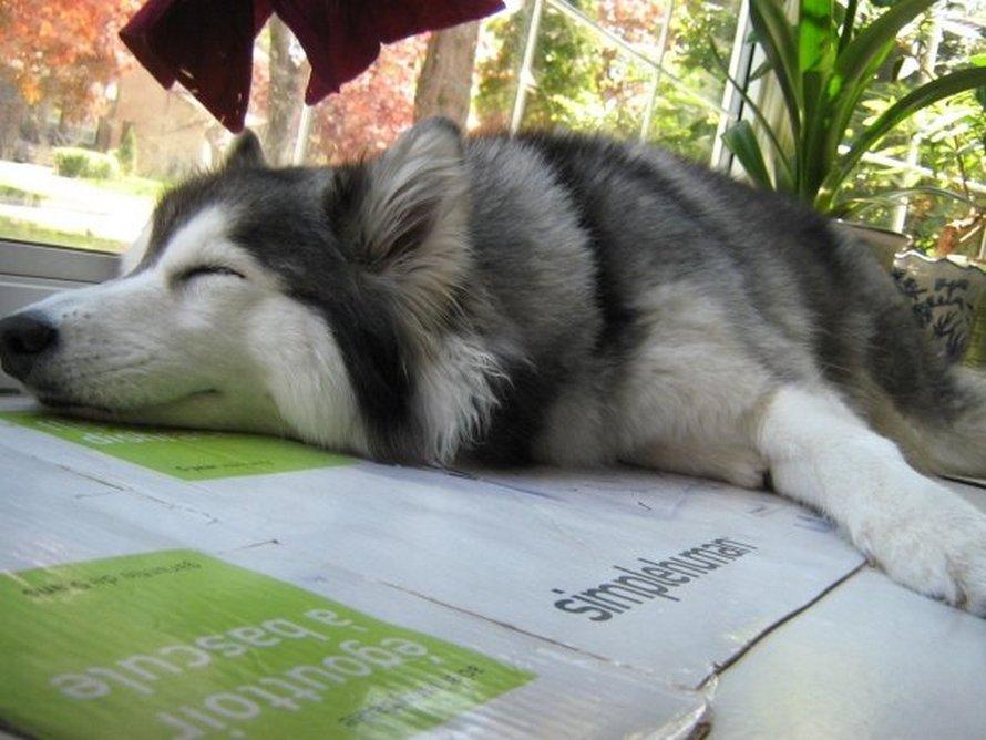 Ce husky a été élevé par des chats et agit comme un chat