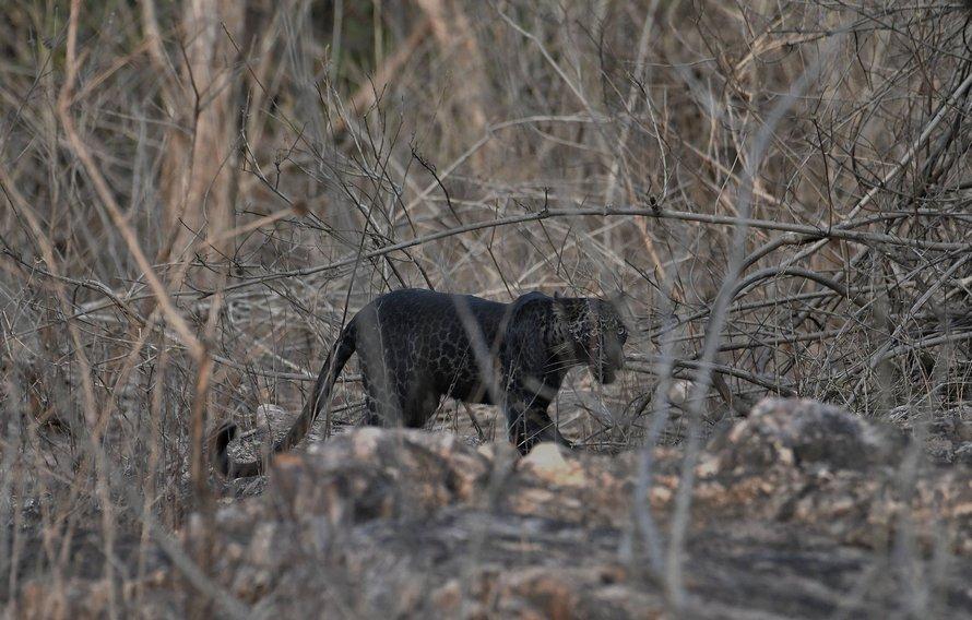 De superbes clichés d'un rare léopard noir ont été capturés par un touriste en Inde