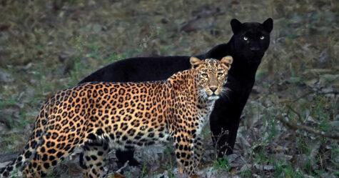Un photographe animalier patiente pendant 6 jours pour prendre la photo parfaite d'un léopard et d'une panthère noire