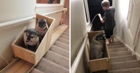 Une propriétaire de chiens construit un monte-escalier pour ses trois carlins âgés et les gens trouvent cela adorable
