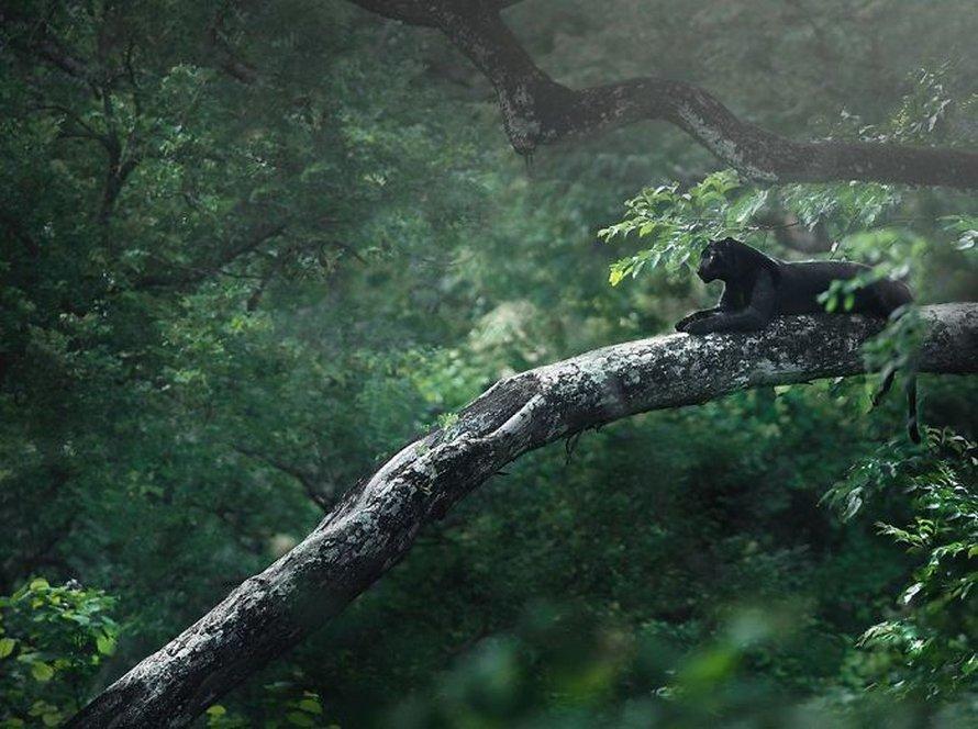 Ces clichés à couper le souffle montrent une rare panthère noire errant dans la jungle indienne