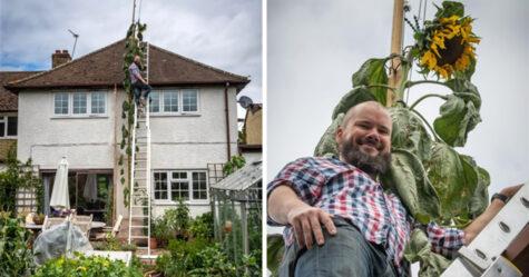 Un père cultive un tournesol de 6 mètres après que son fils de 4 ans lui ait demandé un tournesol «aussi grand que la maison»