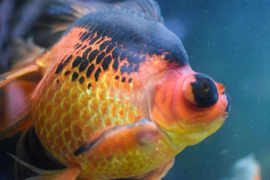 Un poisson rouge de 10 ans, négligé et mourant, a été retourné à une animalerie, alors cette personne a décidé de le soigner