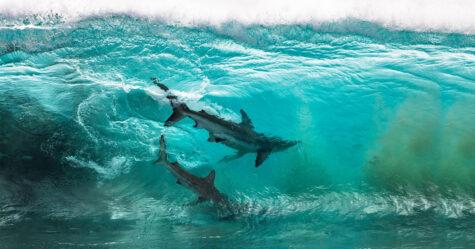 Des requins qui «surfent» sur les vagues ont été immortalisés par un photographe dans des clichés à couper le souffle