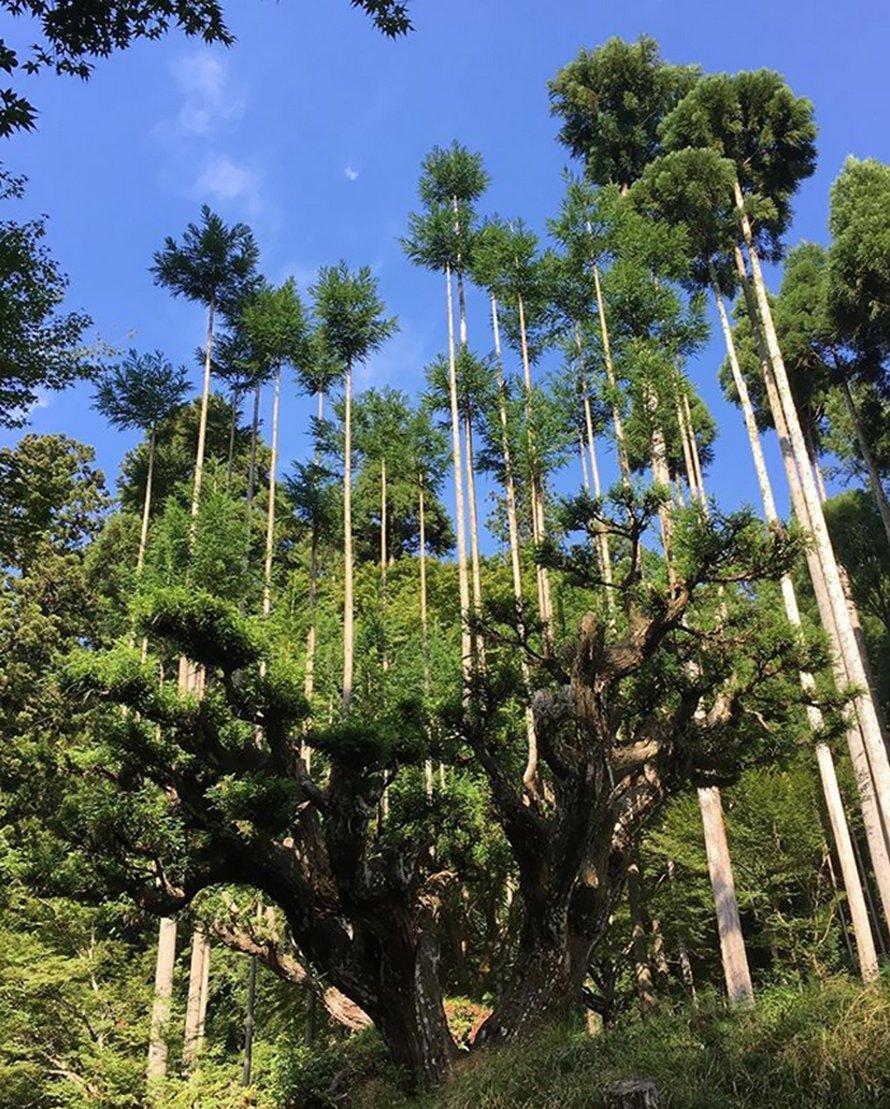 Cette ancienne technique japonaise du 14e siècle permet de produire du bois d'oeuvre sans avoir à couper des arbres