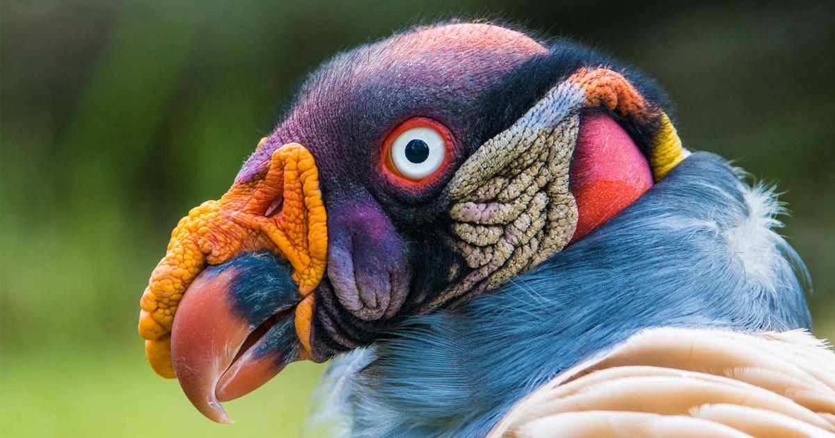 Cet oiseau hyper coloré va changer ta façon de voir les vautours