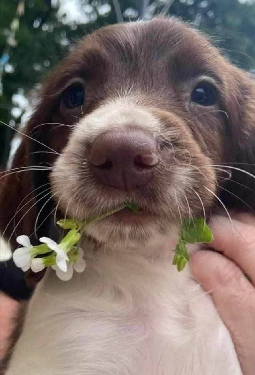 Des voleurs s'enfuient avec les chiots d'une chienne avant de lui ouvrir le cou pour retirer sa micropuce