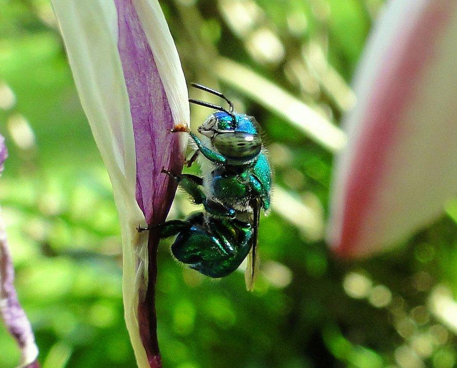 Ces abeilles vertes et brillantes existent et elles sont fascinantes