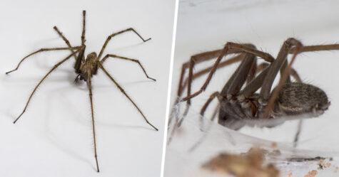 Des araignées géantes folles de sexe envahissent les maisons de la France et du Québec