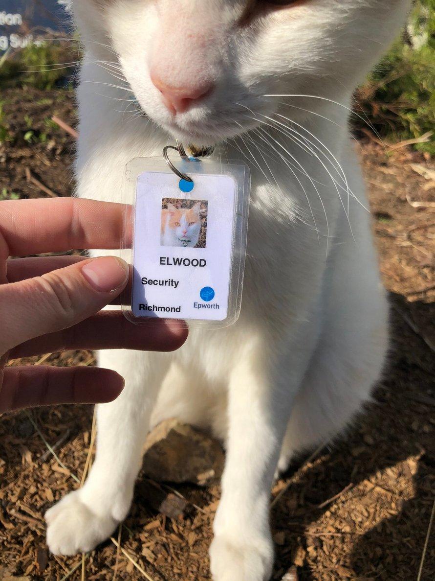Ce chat aime tellement errer à l'hôpital qu'il a obtenu un emploi et son propre badge